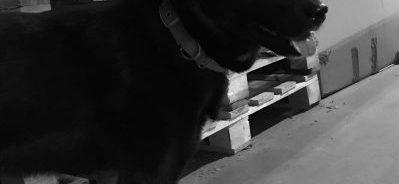 Schwarzer Hund, Firmen-Hund der Jenpack GmbH, schwarzer Karelischer Bärenhund mit Namen Tosca